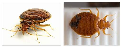 Bed bugs 2