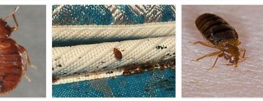 Bed bugs 3